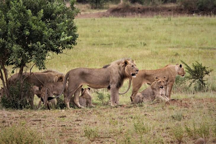 מבחן אישיות מה מטריד אותך: משפחה של אריות לצד עץ