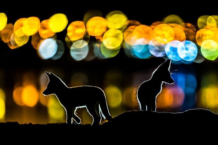 תמונות טבע מדהימות: גורי זאבים על רקע אורות בלילה