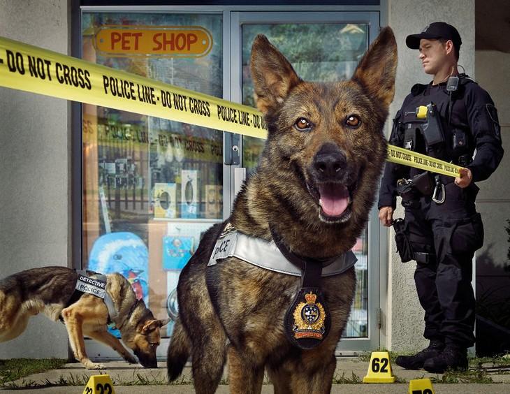 תמונות של כלבי משטרה: כלב מביט למצלמה ומאחוריו שוטר מותח סרט וכלב מרחרח