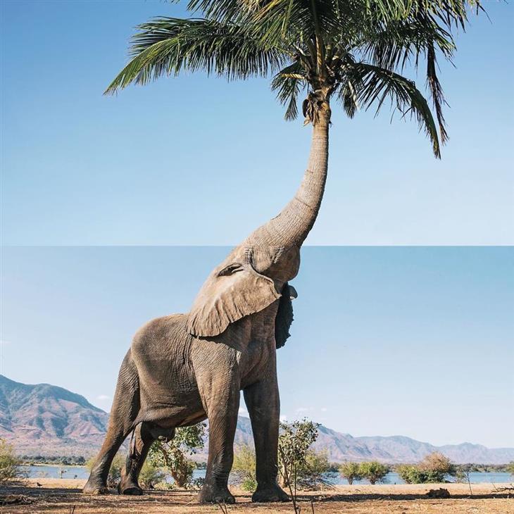 תמונות קולאז' מתעתעות: פיל שהחדק שלו הופך לעץ דקל