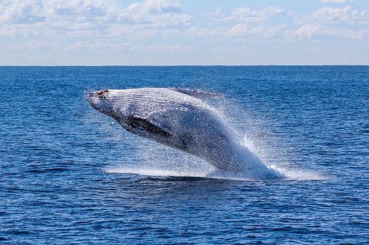 עובדות מפתיעות לווייתנים: לוויתן קופץ מן המים