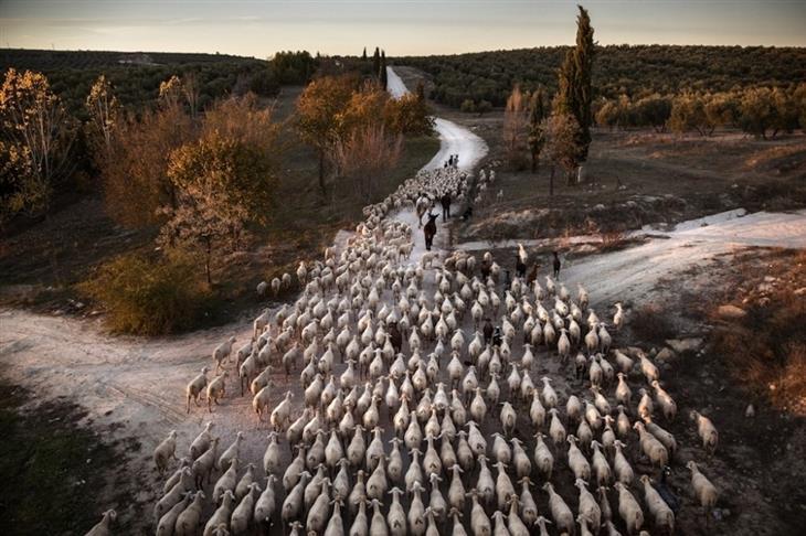 תמונות מתחרות הצילום השנתית של סיינה: עדר של כבשים מובל בדרכים