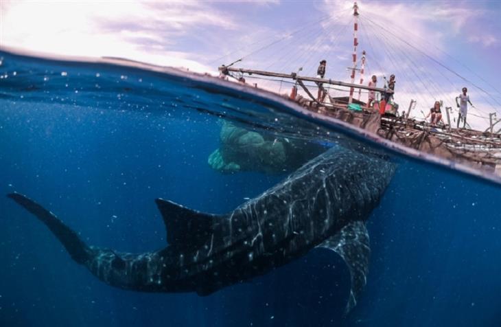תמונות מתחרות הצילום השנתית של סיינה: כרישים לווייתנים ששוחים מתחת למים, ומעליהם ספינה מלאה באנשים