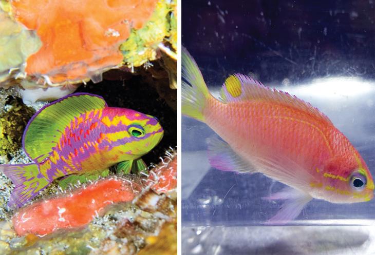 זני בעלי חיים שהתגלו בעשור האחרון: טוסאנוידס אפרודיטה וטוסאנוידס אובמה
