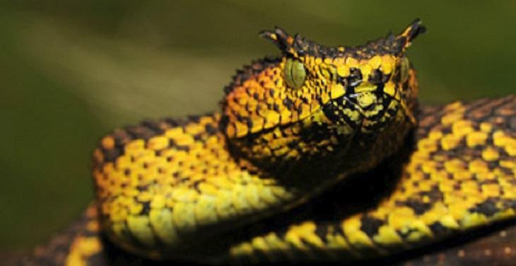 זני בעלי חיים שהתגלו בעשור האחרון: צפע מתילדה