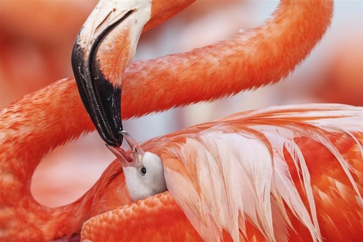 תמונות מתחרות של חיות בר: אם פלמינגו קריבי מאכילה את הגור שלה