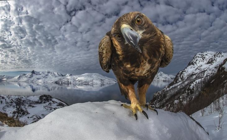 תמונות מתחרות של חיות בר: עיט זהוב מביט אל המצלמה