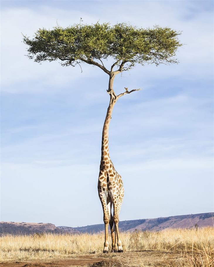 תמונות משולבות: ג'ירפה עם ראש עץ
