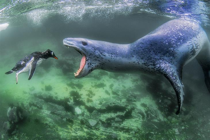 תמונות מדהימות מתחרות הצילום הבינלאומית של סיינה: כלב ים עומד לטרוף פינגווין