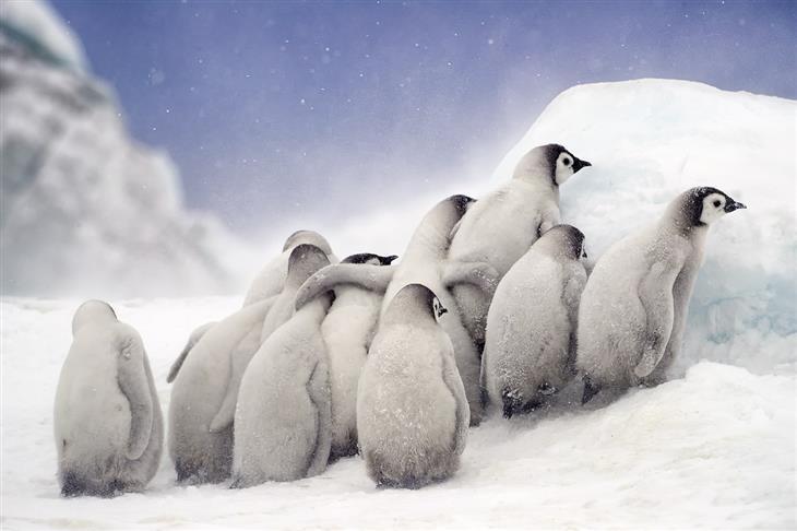 תמונות מדהימות מהעולם: פינגווינים צעירים מתקבצים ביחד כדי להתחמם בקור של אנטרקטיקה