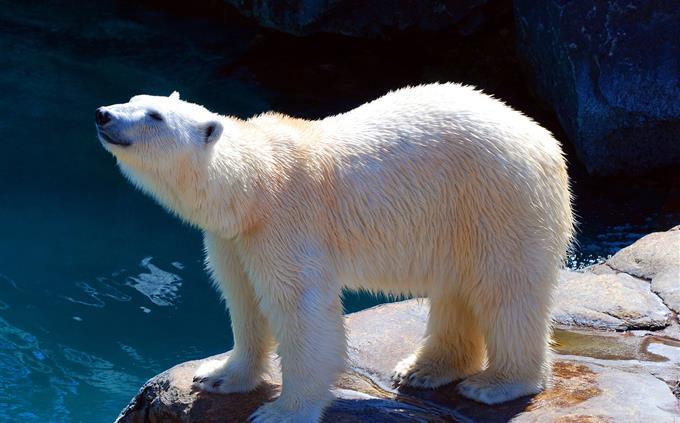 טריוויה: דוב קוטב