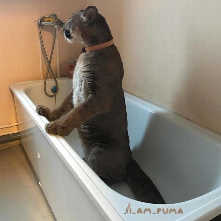 מסי הפומה המבויית: מסי באמבטיה