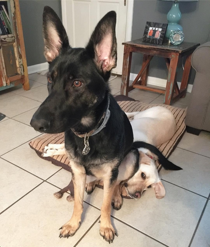כלבים מצחיקים: כלב יושב על פנים של כלב אחר