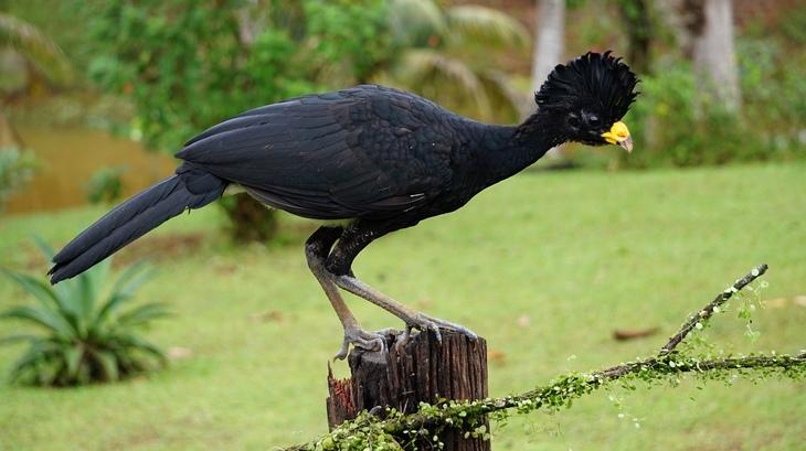 ציפורים מקוסטה ריקה: הוקו גדול