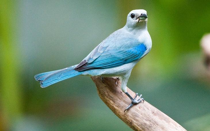 ציפורים מקוסטה ריקה: טנגר כחול אפור