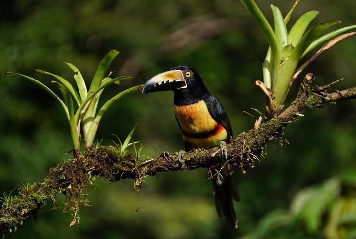 ציפורים מקוסטה ריקה: טוקן כתום מקור