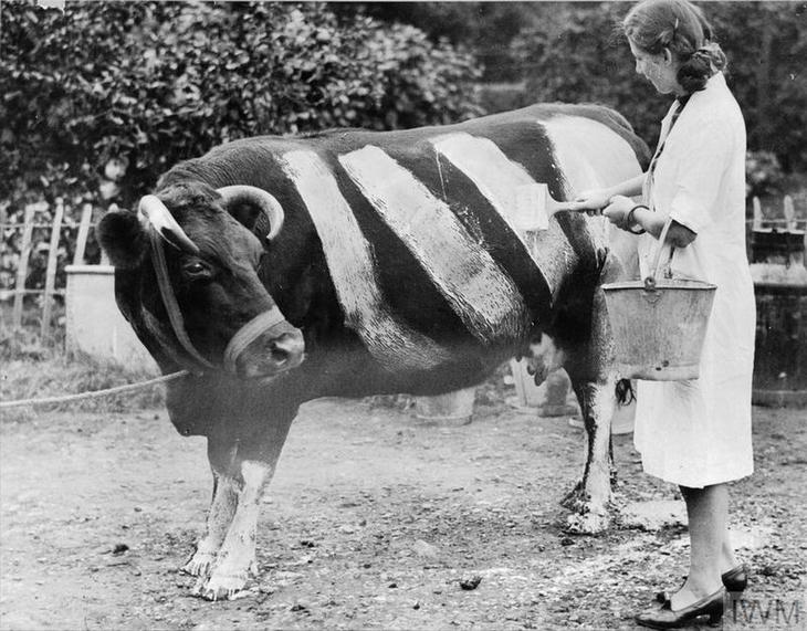 רגעים היסטוריים נדירים: אישה צובעת פרה שחורה בצבע לבן