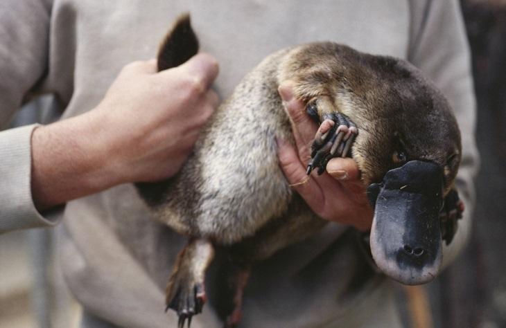 בעלי חיים עם יכולות מיוחדות: ברווזן