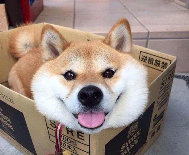 חיות שמנמנות ומתוקות: כלב בתוך קופסה