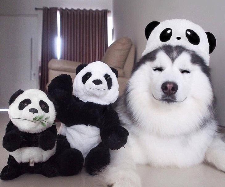 חיות שמנמנות ומתוקות:כלב מחייך עם כובע פנדה לראשו ושתי בובות פנדה יושבות לצידו