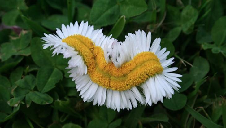 מראות טבעיים מיוחדים: צמח חרצית מיוחד