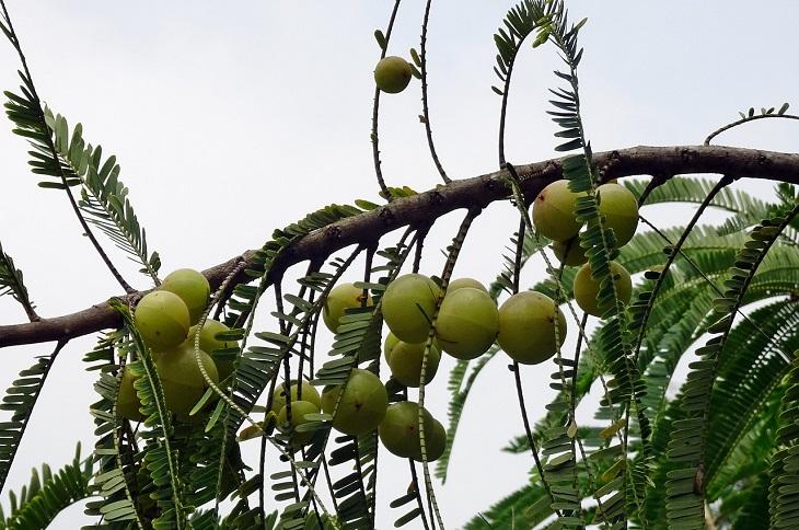 יתרונות האמאלאקי: עץ אמאלאקי