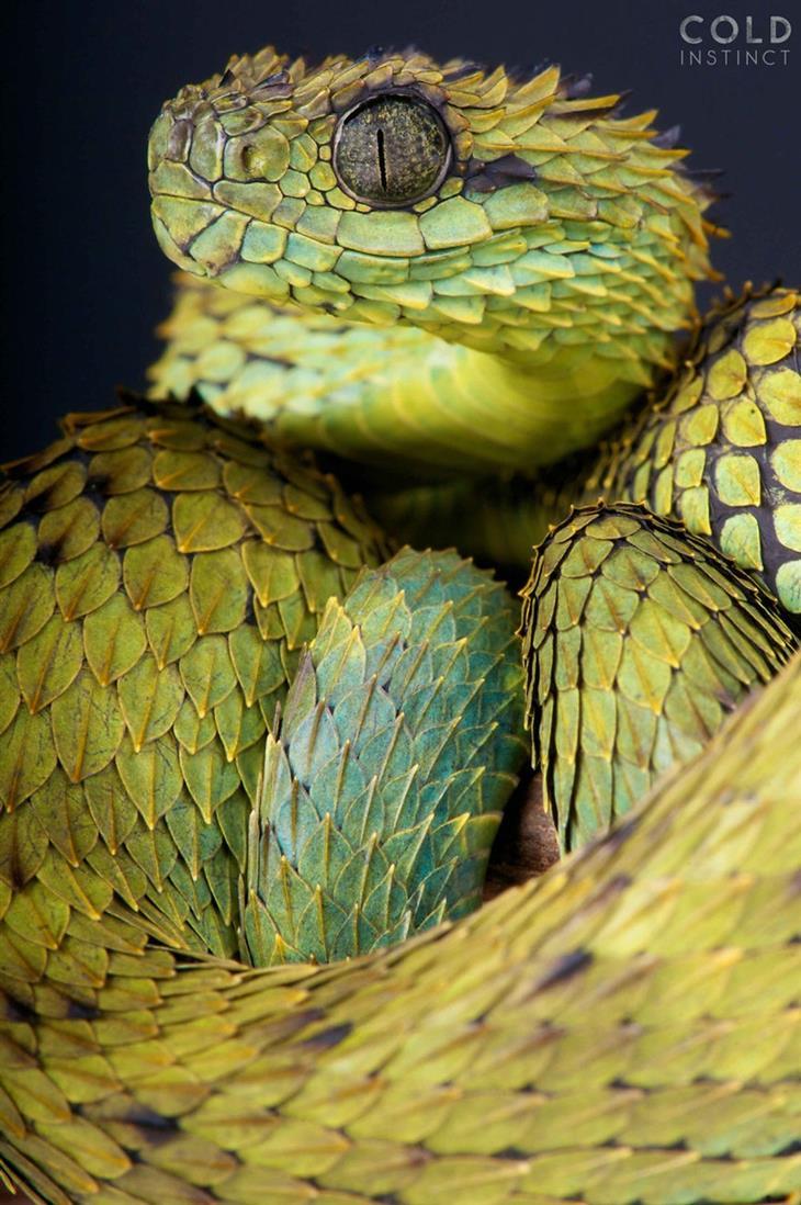 תמונות מדהימות של זוחלים: אתריס היספידה