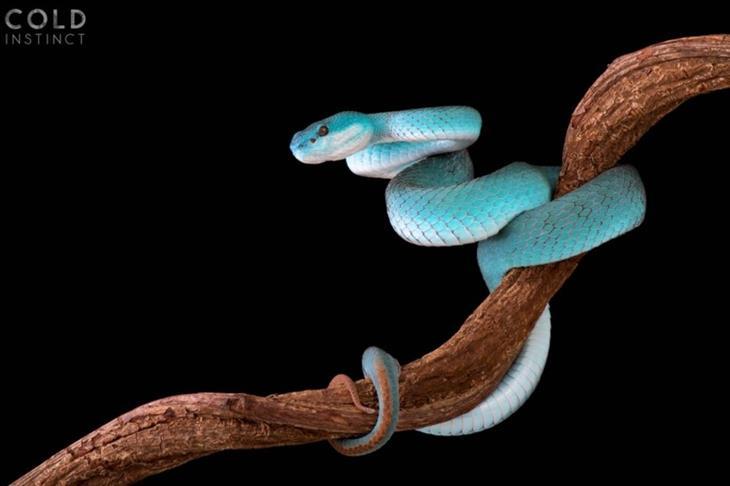 תמונות מדהימות של זוחלים: גומצן כחול לבן-שפתיים
