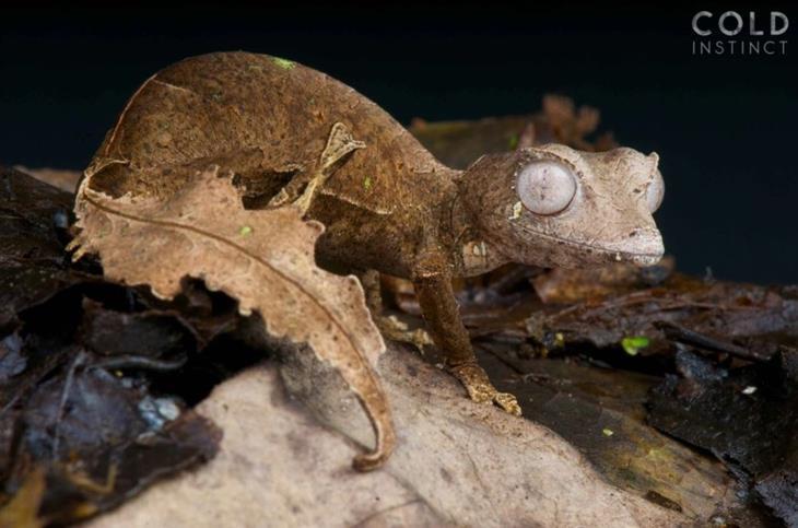 תמונות מדהימות של זוחלים: שממית זנב-עלה שטנית