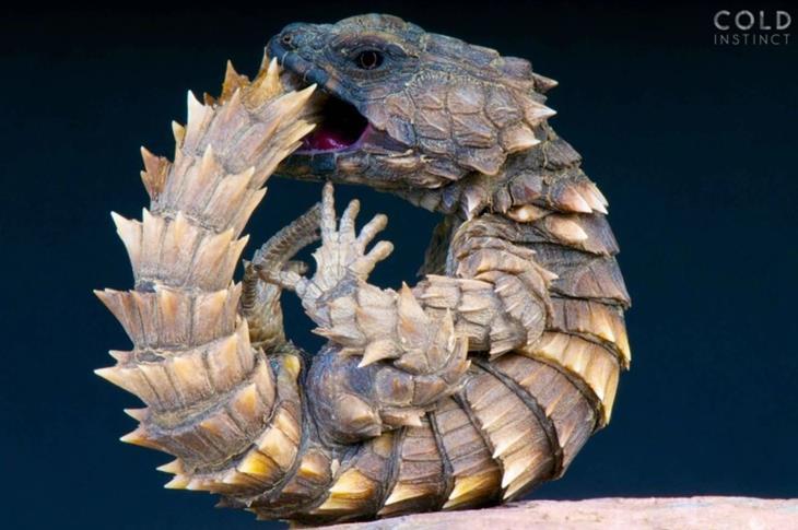 תמונות מדהימות של זוחלים: לטאת הארמדילו