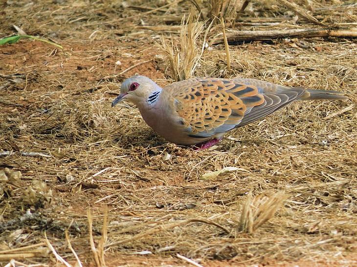 ציפורים בישראל באביב: תור מצוי