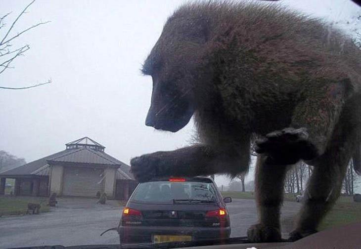 תמונות ברגע הנכון: קוף על שמשת רכב שנראה כאילו הולך למחוץ את המכונית שמקדימה