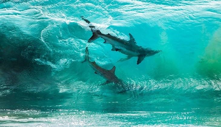 תמונות מפתיעות של דברים לא שגרתיים: שני כרישים שתועדו שוחים בתוך גל שניות לפני שהוא נשבר.