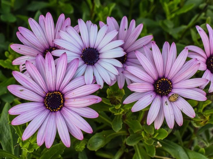 פרחים מומלצים לשתילה באביב: גרמית