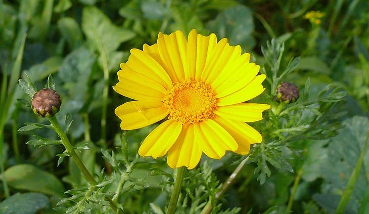 פרחים מומלצים לשתילה באביב: חרצית