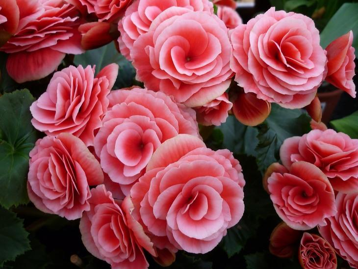 פרחים מומלצים לשתילה באביב: בגוניה ורד