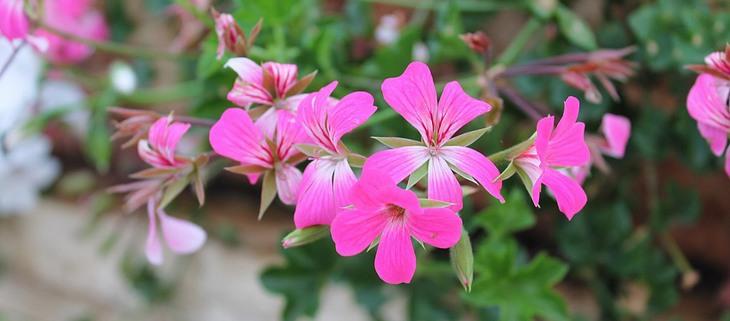 פרחים מומלצים לשתילה באביב: גרניום