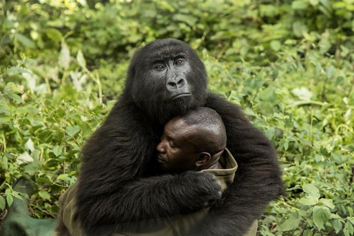 """תמונות מדהימות: מטפל בגורילות יתומות מחבק חיבוק ענק מאחד מה""""ילדים"""" שלו"""