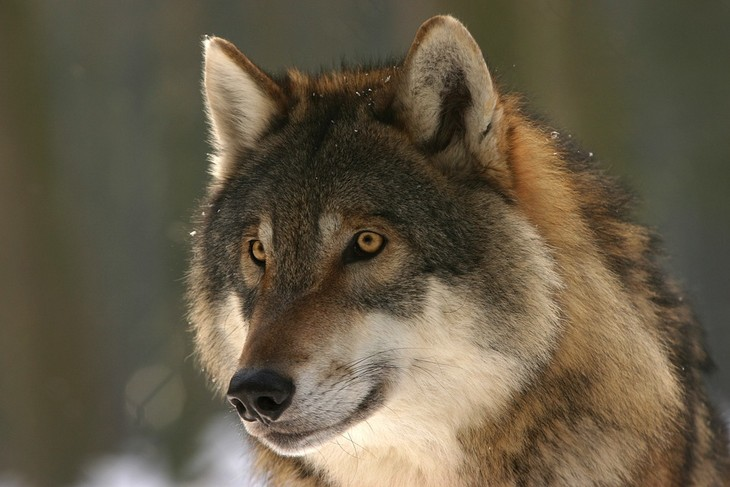 עובדות על זאבים: זאב