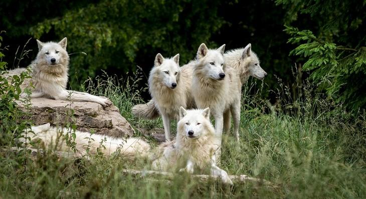 עובדות על זאבים: 5 זאבים לבנים עומדים בקבוצה