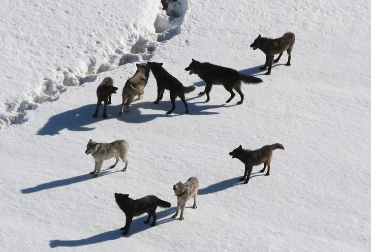 עובדות על זאבים: להקת זאבים בשלג