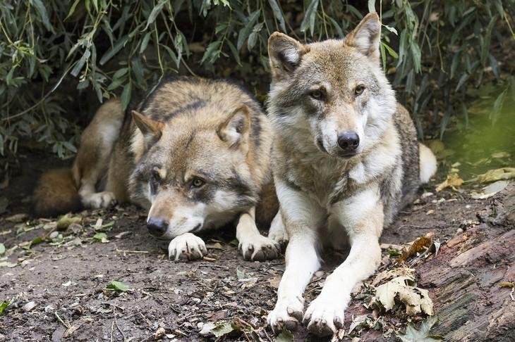 עובדות על זאבים: 2 זאבים שוכבים זה לצד זה