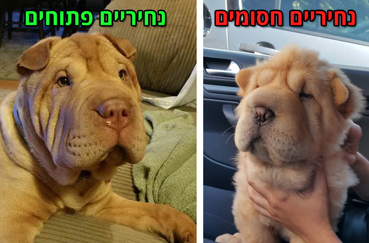הצרות נחיריים אצל כלבים: כלב עם נחיריים חסומים ופתוחים
