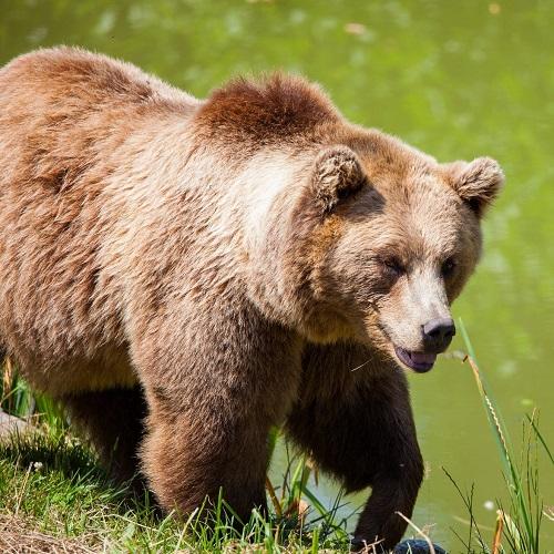 חיות בחלומות: דוב