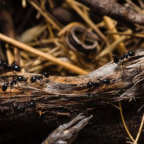חיות בחלומות: נמלים על גזע
