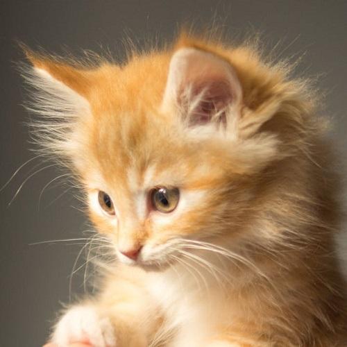 חיות בחלומות: חתול