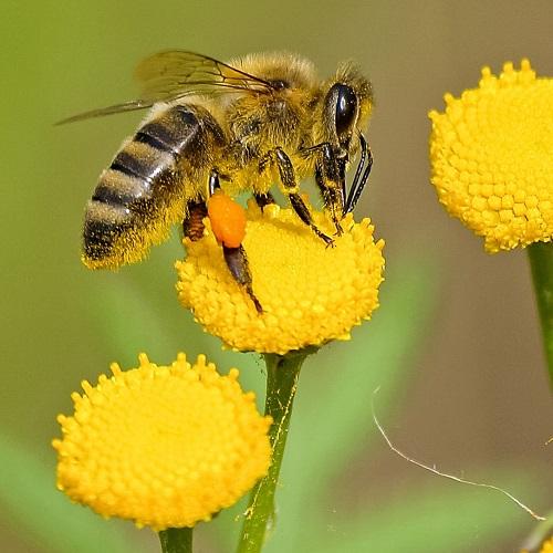 חיות בחלומות: דבורה על פרח