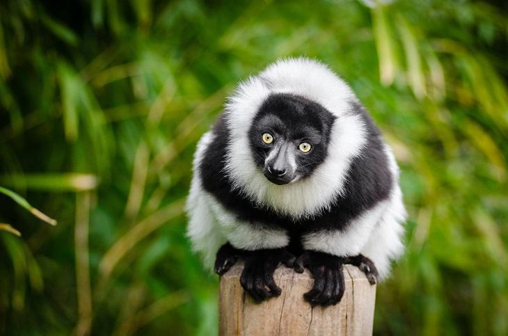 בעלי חיים בסכנת הכחדה: אינדרי