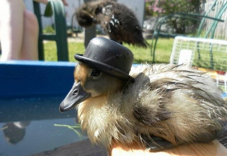 חיות חמודות בכובעים: ברווזון עם כובע אלגנטי קטן