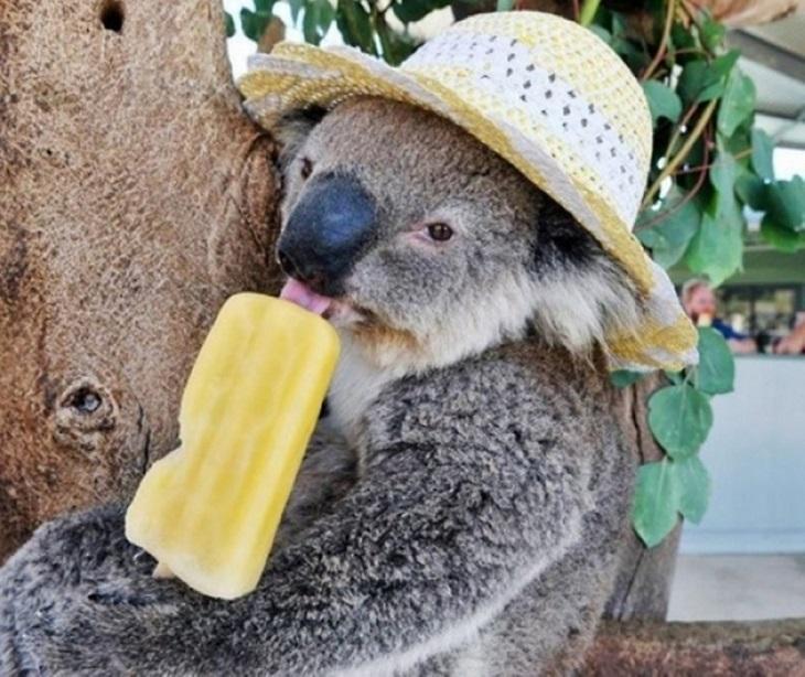 חיות חמודות בכובעים: קואלה עם כובע וקרטיב